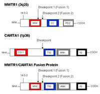 Plan Figure 3: Structure of the putative WWTR1/CAMTA1 fusion protein.