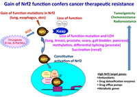 Figure 1: Nrf2 function in cancer cells...